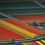 Praca przy kwiatach w Holandii 2014